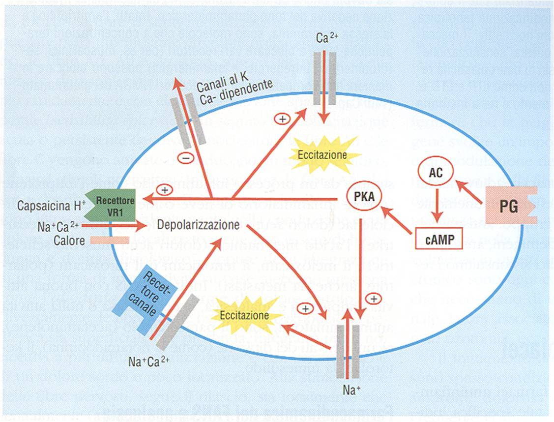 meccanismo d'azione degli steroidi anabolizzanti androgeni