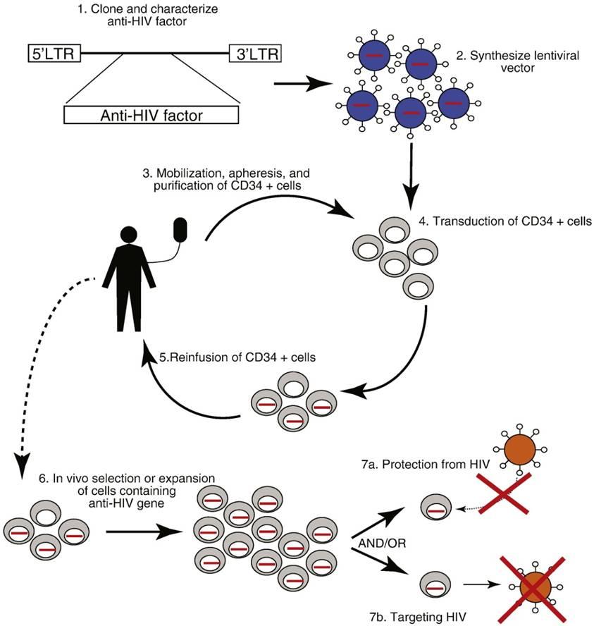 Terapia genica anti-HIV basata su cellule staminali ...