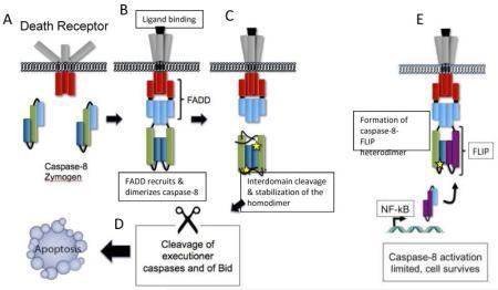 La figura descrive l'attivazione di caspasi-8 nel DISC associato al recettore; tuttavia, eventi simili di omo- ed eterodimerizzazione sono presenti nel complesso associato a RIPK1 descritto in Fig. 2.  A) i zimogeni inattivi di caspasi-8 sono presenti nel citosol della maggior parte delle cellule sane.  Questi sono composti da un prodominio (celeste), e da una subunità grande ed una piccola (verde e blu, rispettivamente).  B) il legame dei recettori della superficie cellulare come CD95 porta al reclutamento dell'adattatore FADD, che a sua volta recluta i zimogeni monomerici di caspasi-8 presenti nel citosol attraverso le interazioni con il prodominio di caspasi-8.  C) Quando i livelli di FLIP sono bassi, questo reclutamento porta alla omodimerizzazione, che è seguita dal taglio delle regioni di legame tra i domini.  Questi eventi di taglio stabilizzano l'omodimero e consentono la formazione dei siti proteolitici attivi, simbolizzati da stelle.  D) L'omodimero di caspasi-8 pienamente attivo può quindi trasdurre il segnale apoptotico attivando le caspasi a valle, o tagliando ed attivando il membro Bid della famiglia Bcl-2.  E) Quando i livelli di FLIP sono alti (per es., in seguito all'attivazione di NF-kB da parte del complesso I associato al TNFR1; vedi il Box 2), la caspasi-8 recluta preferibilmente ed omodimerizza con FLIP.  Il complesso eterodimerico caspasi-8-FLIP è cataliticamente attivo, ed, importante, FLIP può attivare caspasi-8 in assenza degli eventi di taglio interdominio.  L'attività del complesso caspasi-8-FLIP non innesca l'apoptosi, ed è responsabile della soppressione del segnale RIPK1-RIPK3.  Tuttavia, deve ancora essere chiarito quali sono i substrati chiave di questo complesso, e come FLIP limita l'attivazione di caspasi-8 in vivo.
