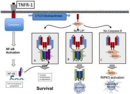Il reclutamento di caspasi-8 e FLIP nel complesso che contiene RIPK1 determina il destino della cellula.  Questa figura descrive la formazione del complesso II che contiene RIPK1 e che attiva RIPK3 in seguito al legame del TNFR1; tuttavia, evidenze recenti indicano che un complesso simile può essere indotto dal legame di TLR-3 o -4 o da stress genotossico.  Il legame di TNFR1 all'inizio innesca l'attivazione di NF-kB e l'aumento della trascrizione di FLIP (vedi Box 2).  RIPK1 viene quindi deubiquitinato e trasloca nel citosol, dove può reclutare FADD, caspasi-8, e/o FLIP in maniera analoga a quanto descritto in fig. 1.  RIPK1 può anche reclutare ed attivare RIPK3 in questo complesso, un processo che è controllato da FADD, caspasi-8 e FLIP.  A) Quando sia caspasi-8 che FLIP sono presenti, queste proteine sono reclutate nel complesso che contiene RIPK1.  L'eterodimero caspasi-8-FLIP limita il segnale RIPK1-RIPK3, ma non innesca l'apoptosi.  E' importante sapere che il meccanismo attraverso cui la soppressione del segnale di RIPK1-RIPK3 da parte del complesso caspasi-8-FLIP viene attuata rimane tuttora controverso.  B) Quando i livelli di FLIP sono bassi (per esempio, se il segnale di NF-kB viene inibito), l'attivazione di caspasi-8 è incontrollata, e porta ad apoptosi.  FLIP è necessario non solo per limitare l'attivazione di caspasi-8, ma anche per sopprimere il segnale RIPK, di modo che ridotti livelli di FLIP possono anche sensibilizzare le cellule alla necrosi dipendente da RIPK3 se l'apoptosi è inibita.  C) Quando caspasi-8 (o FADD) è assente, l'attivazione apoptotica di caspasi-8 è impossibile, ma il segnale RIPK procede incontrollato.  Il risultato è la sensibilizzazione alla necrosi programmata dipendente da RIPK3.