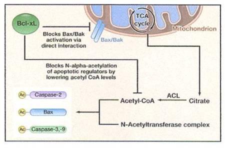 Figura 1.  Regolazione dell'apoptosi da parte di Bcl-xL Oltre a bloccare direttamente l'oligomerizzazione di Bax/Bak ed il rilascio di citocromo c dai mitocondri, Bcl-xL abbassa anche i livelli di acetil-CoA (possibilmente a causa di un effetto indiretto a monte dell'acetil-CoA), il chè risulta in una diminuzione della N-Alpha-acetilazione di mediatori apoptotici come caspasi-2, -3, -9 e Bax.  Nel caso della caspasi-2, l'N-Alpha-acetilazione è critica per la sua attivazione.