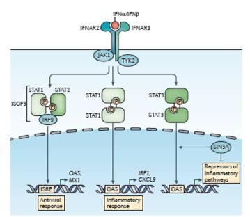 Figura 2.  La via canonica di segnale degli interferoni di tipo I.  Dopo il legame, il recettore dell'interferone-α (IFNAR, che è composto dalle subunità IFNAR1 e IFNAR2) attiva Janus kinase 1 (JAK1) e tyrosine kinase 2 (TYK2).  La fosforilazione del recettore di queste chinasi risulta nel reclutamento delle proteine signal transducer and activator of transcription (STAT), nella loro fosforilazione, dimerizzazione e traslocazione nucleare.  I tre complessi STAT prevalenti che sono formati in risposta agli interferoni (IFN) di tipo I controllano distinti programmi di espressione genica.  Il complesso dell'interferon-stimulated gene factor 3 (ISGF3)[che è composto da STAT1, STAT2 e IFN-regulatory factor 9 (IRF9)] si lega a sequenze IFN-stimulated response element (ISRE) per attivare i classici geni antivirali, mentre gli omodimeri STAT1 legano gamma-activated sequence (GAS) di geni antivirali per indurre geni pro-infiammatori.  Gli omodimeri STAT3 sopprimono indirettamente l'espressione di geni pro-infiammatori, probabilmente attraverso l'induzione di repressori trascrizionali ancora sconosciuti.  STAT3 attivato da IFN di tipo I è legato dal complesso di corepressione SIN3 transcription regulator homologue A (SIN3A), che sopprime l'induzione di geni bersaglio diretti di STAT3 promuovendo la de-acetilazione di STAT3 ed istoni.  Gli IFN di tipo I attivano anche STAT4 e possono attivare STAT5 e STAT6 in maniera dipendente dal contesto (non mostrato nella figura).  CXCL9, CXC-chemochine ligand 9; MX1, IFN-induced GTP-binding protein Mx1; OAS, 2'-5'-oligoadenylate synthase; P, phosphate.