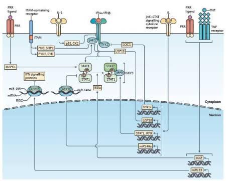 Figura 3.  Il segnale degli interferoni di tipo I è regolato da vie di segnale eterologhe.  Varie vie recettoriali regolano in maniera crociata la risposta agli interferoni (IFN) di tipo I; questo altera i livelli di espressione e gli stati di attivazione dei componenti del segnale degli IFN.  Varie vie di mitogen-activated protein kinase (MAPK), come quelle indotte dai pattern-recognition receptor (PRR), aumentano l'attività trascrizionale di signal transducer and activator of transcription 1 (STAT1) attraverso la fosforilazione di una serina carbossi-terminale conservata.  Un segnale basale di basso livello da parte di recettori che contengono immunoreceptor tyrosine-based activation motif (ITAM) aumenta anche l'attività di Janus kinase 1 (JAK1) attraverso l'attivazione di spleen tyrosine kinase (SYK) e protein tyrosine kinase 2 (PYK2).  Al contrario, una forte attivazione di recettori che contengono ITAM da parte di un legame crociato ad alta avidità sopprime il segnale del IFNα receptor (IFNAR) attraverso il reclutamento mediato dalla protein kinase C (PKC) di SH2 domain-containing protein-tyrosine phosphatase 2 (SHP2), che defosforila i segnali intermedi.  Le vie di segnale delle citochine, inclusa la via dell'interleuchina-1 (IL-1), inibiscono le risposte degli IFN di tipo I promuovendo direttamente il ricambio del recettore IFN attraverso la chinasi p38 e casein kinase II (CK2).  Varie citochine che segnalano attraverso le vie JAK-STAT, inclusi gli IFN di tipo I, regolano i livelli di espressione di regolatori sia positivi che negativi delle vie di risposta all'IFN.  I regolatori positivi indotti da JAK-STAT includono STAT1 e IFN-regulatory factor 9 (IRF9), mentre i regolatori negativi includono la famiglia di proteine suppressor of cytokine signalling (SOCS) e ubiquitin carboxy-terminal hydrolase 18 (USP18).  L'inibitore della fosforilazione di STAT1 mediata da NF-κB kinase ε (IKKε) inibisce l'omodimerizzazione STAT1, promuovendo così l'attivazione del compl