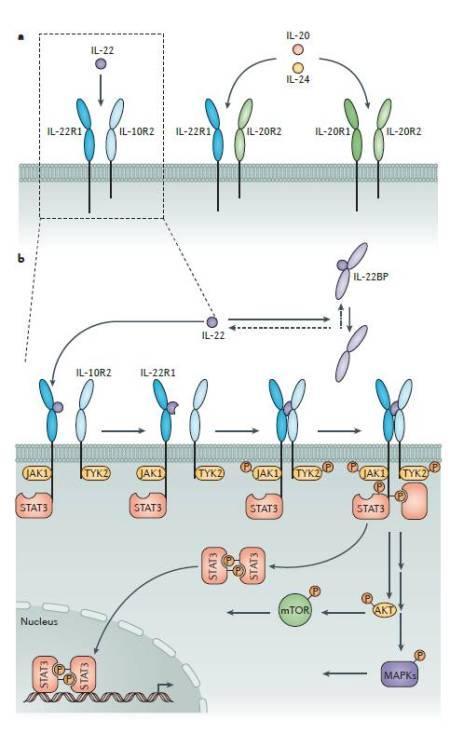Figura 1.  Il sistema IL-22-IL-22R1 e gli eventi di segnale a valle.  a) L'interleuchina-22 (IL-22) media i propri effetti cellulari attraverso un complesso recettoriale eterodimerico composto dalla subunità 1 del recettore dell'IL-22 (IL-22R1) e dall'IL-10R2.  I componenti del complesso eterodimerico IL-22R sono usati anche da altre citochine della famiglia IL-10.  L'IL-10R2 media anche gli effetti dell'IL-10 (in un complesso con IL-10R1) e dell'IL-26 (in un complesso con IL-20R1), così come dell'IL-28 A, IL-28B e IL-29 (in un complesso con l'IL-28R1; non mostrato in figura).  L'IL-22R1, che è espresso solo da specifici tipi cellulari, si può anche associare con IL-20R2 per formare uno dei complessi recettoriali per IL-20 e IL-24.  IL-20 e IL-24 usano un secondo complesso recettoriale che è composto da IL-20R1 e IL_20R2.  b) Il legame dell'IL-22 al proprio complesso recettoriale avviene in due fasi.  Prima, l'IL-22 si lega alla propria subunità recettoriale ad alta affinità, IL-22R1.  Questo induce una modificazione conformazionale nella proteina dell'IL-22 che le conferisce abbastanza affinità per permettere alla proteina di legare secondariamente la subunità IL-10R2.  IL-10R2 stabilizza quindi l'associazione dell'IL-22 con IL-22R1.  Le porzioni citoplasmatiche dell'IL-22 R1 e dell'IL-10R2 si associano alle chinasi Janus kinase 1 (JAK1) e tyrosine kinase 2 (TYK2), rispettivamente.  La formazione del complesso IL-22-IL22R1-IL10R induce la fosforilazione di JAK1 e TYK2, che a loro volta fosforilano quattro residui di tirosina specifici nel dominio citoplasmatico di IL-22R1.  Questi residui divengono siti di legame dei domini SRC homology 2 (SH2) delle molecole signal transducer and activator of transcription (STAT).  Inoltre, IL-22R1 può essere pre-associato a STAT3 come conseguenza di reclutamento indipendente da tirosina.  Le molecole STAT legate al recettore sono poi fosforilate da JAK.  Ciò consente la dimerizzazione e la straslocazione di STAT nel nucleo, dove 