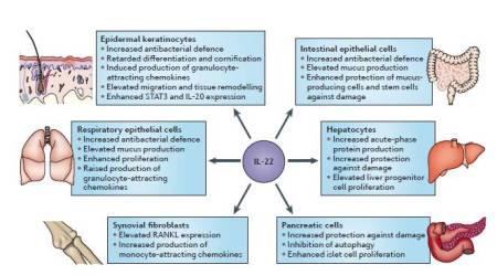 Figura 2.  Effetti chiave dell'IL-22.  L'interleuchina-22 (IL-22) agisce principalmente sulle cellule epiteliali di vari organi, cellule pancreatiche e cellule epatiche, così come su popolazioni di fibroblasti.  Questo porta a modificazioni nell'espressione di pochi - anche se altamente rilevanti - geni.  Nelle cellule epiteliali, l'IL-22 aumenta la produzione di proteine antibatteriche di legame (come la beta-defensin 2 (BD2), BD3, S100A7, S100A8, S100A9 e lipocalin 2 (LCN2)), Matrix metalloproteinases (come Matrix metalloproteinase 1 (MMP1) ed MMP3) e chemochine che attraggono i granulociti ( come CXC-chemokine ligand 1 (CXCL1), CXCL5 e CXCL8).  Nelle cellule epiteliali della cute, l'IL-22 ritarda anche l'espressione di proteine che sono necessarie per la differenziazione delle cellule epiteliali, come keratin 1 (KRT1), KRT10, profilaggrin, involucrin e desmocollin 1.  Nelle cellule epiteliali coliche e respiratorie, IL-22 aumenta ulteriormente la produzione di proteine associate al muco (per esempio, mucin 1 (MUC1)).  Negli epatociti e nelle cellule pancreatiche, IL-22 aumenta l'espressione di proteine anti-apoptotiche (come B cell lymphoma 2 (BCL-2), BCL-XL e myeloid cell leukaemia sequence 1 (MCL1)), proteine mitogeniche (come retinoblastoma-like protein 2, cyclin D1, p21 e cyclin-dependent kinase 4), così come proteine rigenerative ed antibatteriche (come regenerating islet-derived protein 3beta (REG3beta)).  Inoltre, negli epatociti, IL-22 induce la produzione di proteine di fase acuta (come haptoglobin, lipopolysaccharide-binding protein e serum amyloid A).  Nei fibroblasti sinoviali di pazienti con artrite reumatoide, IL-22 innalza la produzione di chemochine che attraggono i monociti come CC-chemokine ligand 2 (CCL2) e l'espressione di receptor activator of NF-kB ligand (RANKL), che favoriscono la differenziazione dei monociti in osteoclasti.  E' degno di nota che IL-22 non influenza la funzione di cellule immuni in riposo o attivate.  STAT3, signal transd