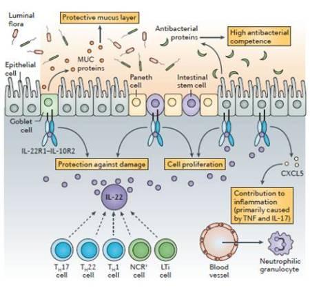 Figura 4.  Ruolo del sistema IL-22-IL-22R1 nella difesa contro infezioni intestinali.  L'interleuchina-22 (IL-22) aumenta la difesa antibatterica delle cellule epiteliali della mucosa attraverso diversi meccanismi.  Primo, IL-22 aiuta a mantenere la barriera epiteliale.  Previene il danno epiteliale indotto da batteri ed infiammazione.  Inoltre, IL-22 promuove la produzione di proteine associate al muco (mucine(MUC)), che sono necessarie per la formazione dello strato protettivo di mucom ed aiuta a ripristinare lo strato epiteliale agendo direttamente sulle cellule staminali epiteliali per promuovere la loro protezione e proliferazione.  Secondo, IL-22 induce la secrezione di proteine antibatteriche.  Infine, IL-22 – da solo od in sinergia con altre citochine – può innescare l'espressione di chemochine che possono reclutare ed attivare i leucociti per controllare i patogeni invasori.  CXCL5, CXC-chemokine ligand 5; IL-22R1, IL-22 receptor subunit 1; LTi, lymphoid tissue inducer; NCR, natural cytotoxicity triggering receptor; TH, T helper; TNF, tumour necrosis factor.