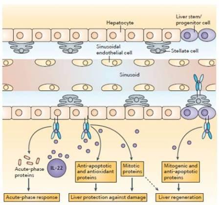 Figura 5.  Ruoli del sistema IL-22-IL-22R1 nel danno epatico.  L'Interleuchina-22 (IL-22) protegge fortemente il fegato contro il danno e favorisce la rigenerazione agendo principalmente sugli epatociti e sulle cellule staminali epatiche.  Attraverso l'induzione dell'espressione di proteine mito geniche ed anti-apoptotiche, l'IL-22 promuove rispettivamente la proliferazione cellulare e la protezione contro l'apoptosi.  Inoltre, l'induzione di proteine antiossidanti può proteggere gli epatociti contro lo stress ossidativo.  L'IL-22 induce anche le proteine di fase acuta che esprimono effetti anti-infiammatori, antibatterici e rigenerativi.  IL-22R1, IL-22 receptor subunit 1.