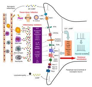 Figura 1.  L'infiammazione provoca il dolore attraverso mediatori infiammatori e sensibilizzazione periferica. Danno tessutale ed infezione causano infiammazione attraverso estravasazione plasmatica ed infiltrazione di cellule immuni come macrofagi, cellule T, e neutrofili nel tessuto danneggiato.  Le cellule immuni infiltrate e le cellule residenti che includono mastcellule, macrofagi e cheratinociti rilasciano molti mediatori infiammatori, come bradichinina, prostaglandine, H+, ATP, nerve growth factor (NGF), citochine proinfiammatorie (TNF-α, IL-1β, IL-6), e chemochine proinfiammatorie (CCL2, CXCL1, CXCL5).  I neuroni nocicettivi esprimono i recettori per tutti questi mediatori infiammatori, che agiscono sui propri rispettivi recettori nelle fibre nervose nocicettive periferiche.  Questi recettori includono i GPCR, recettori ionotropici, e recettori a tirosin chinasi, e la loro attivazione risulta nella generazione di un secondo messaggero come Ca2+ e cAMP, che a loro volta attivano molte chinasi, come PKA, PKC, CaMK, PI3K, e le MAPK (ERK, p38, e JNK).  L'attivazione di queste chinasi causa ipersensibilità ed ipereccitabilità dei neuroni nocicettivi (nota come sensibilizzazione periferica), attraverso la modulazione di molecole chiave di trasduzione come i canali ionici transient receptor potential A1 e V1 (TRPA1 e TRPV1) e Piezo (un canale ionico attivato dalla distensione) così come molecole chiave di conduzione come i canali del sodio NaV1.7, NaV1.8 e NaV1.9.  I neuroni nocicettivi esprimono anche i TLR (cioè, TLR3, TLR4, e TLR7), che possono essere attivati da ligandi esogeni (conosciuti come quadri molecolari attivati da patogeni, che includono componenti virali e batteriche) e ligandi endogeni (conosciuti come quadri molecolari attivati dal danno, come gli RNA).  Alcuni miRNA (per es., let-7b) funzionano come dei nuovi mediatori del dolore per attivare i nocicettori attraverso TLR7 che è accoppiato a TRPA1 (l'accoppiamento è ulteriormente aumentato quando T