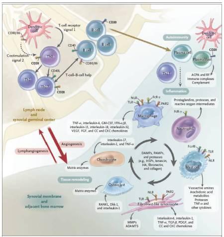 Figura 2. Processi di immunità adattiva ed innata all'interno dell'articolazione nell'artrite reumatoide. Si vede come le interazioni dipendenti dalla costimolazione tra cellule dendritiche, cellule T, e cellule B avvengono principalmente nel linfonodo; questi eventi generano una risposta immune verso proteine-self che contengono citrullina.  Nella membrana sinoviale e nel midollo osseo adiacente, le vie immuni adattive ed innate si integrano per promuovere il danno ed il rimodellamento tessutale.  Circuiti a retroazione positiva mediati dalle interazioni tra leucociti, fibroblasti sinoviali, condrociti, ed osteoclasti, insieme con i prodotti molecolari del danno, guidano la fase cronica nella patogenesi dell'artrite reumatoide.  ADAMTS denota una disintegrina e metalloproteasi con domini simil-trombospondina-1, DAMP damage-associated molecular pattern, Dkk1 dickkopf-1, FcR recettore Fc, FcεRI recettore IgE ad alta affinità, FGF fibroblast growth factor, GM-CSF granulocyte-macrophage colony-stimulating factor, HA acido ialuronico, HSP heath-shock protein, IFN-α/β interferon-α/β, MMP matrix methalloproteinase, NLR nucleotide-binding oligomerization domain-like receptor, PAMP pathogen-associated molecular pattern, PAR2 protease-activated receptor 2, PDGF platelet-derived growth factor, RANKL receptor activator of nuclear factor κB ligand, TGF-β transforming growth factor β, Th0 type 0 helper T cell,  Th1 type 1 helper T cell, Th17 type 17 helper T cell, TLR toll-like receptor, TNF-α tumor necrosis factor α, e VEGF vascular endothelial growth factor.