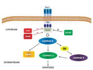 Figura 3. Molecole coinvolte nella via della caspasi-8 nel timo. La caspasi-8 è attivata attraverso la stimolazione di Fas ed il reclutamento di FADD. Le molecole a monte che regolano negativamente questa via sono FAIM e FLIP, mentre MSSP regola positivamente la via Fas/caspasi-8. Una volta attivata, a valle caspasi-8 taglia ed attiva caspasi-3, HDAC7, e Bid, promuovendo così l'apoptosi timocitaria.