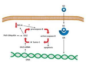 Figura 4. Il circuito GILZ-caspasi-8. Il legame dei GC al loro GR stimola la trascrizione di Gilz. Una volta che Gilz viene tradotto, attiva caspasi-8 dalla pro-caspasi-8, e la caspasi-8 attiva determina il legame di Sumo-1 a GILZ. Il legame di Sumo-1 compete con il legame dell'ubiquitina ed inibisce la degradazione proteasomica di GILZ.