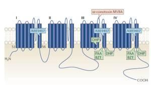 Figura 1. Posizione dei siti di interazione dei farmaci nei canali del calcio controllati dal voltaggio. E' mostrata la topologia transmembrana della subunità Cavα1 che forma i pori con i suoi quattro principali domini transmembrana (I-IV), ciascuno dei quali contiene sei eliche che attraversano la membrana (denominate S1-S6), così come un circuito del poro rientrante. Sono etichettati gli inibitori dei canali di tipo N (in rosso), tipo T (in blu) e tipo L (in verde). Sono mostrati i siti di interazione dei farmaci. BZT, benzotiazepine; DHP, diidropiridine; PAA, fenilalchilamine.