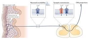 Figura 2. Ruolo dei canali del calcio controllati dal voltaggio nelle vie dolorifiche afferenti primarie. Stimoli dannosi (come pressione, caldo e freddo) sono rilevati da terminazioni nervose presenti nella cute e negli organi, e ciò determina la generazione di potenziali d'azione che viaggiano lungo la fibra afferente fino alle terminazioni sinaptiche delle corna dorsali del midollo spinale, dove il rilascio di neurotrasmettitori attiva i neuroni postsinaptici che proiettano al cervello. I canali del calcio Cav3.2 regolano l'eccitabilità delle fibre afferenti e contribuiscono all'ingresso di calcio nelle terminazioni nervose sinaptiche. I canali Cav2.2 sono localizzati presinapticamente dove la loro apertura consente l'ingresso del calcio e determina il rilascio di neurotrasmettitori. CNS, sistema nervoso centrale.
