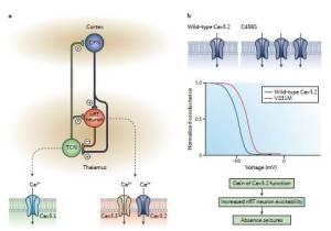 Figura 3. Ruolo dei canali del calcio di tipo T nel circuito talamocorticale. a. I neuroni talamocorticali (TCN) hanno proiezioni eccitatorie sia verso neuroni piramidali corticali (CNP) sia verso neuroni del nucleo reticolare talamico (nRT). Proiezioni eccitatorie discendenti innervano neuroni nRT e TCN, mentre neuroni nRT hanno stimoli inibitori verso cellule talamocorticali. L'eccitabilità di questa rete è fortemente dipendente dai canali del calcio di tipo T, con i canali Cav3.1 espressi nei TCN, ed i canali Cav3.2 e Cav3.3 espressi nei neuroni nRT. b. Mutazioni di Cav3.2 sono state trovate in pazienti con forme congenite di assenza epilettica ed aumento delle funzioni del canale Cav3.2. La mutazione C456S aumenta l'espressione in superficie dei canali, mentre la mutazione V831M aumenta la disponibilità dei canali mediando uno slittamento depolarizzante nella curva di inattivazione allo stato stazionario. In entrambi i casi, si ha una aumentata ampiezza della corrente dei tipi T, che porta ad aumentata eccitabilità dei neuroni nRT e quindi a crisi d'assenza.