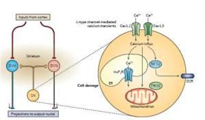 Figura 4. Ruolo dei canali del calcio di tipo L nella degenerazione dei neuroni dopaminergici durante la malattia di Parkinson. I neuroni della pars compatta della substantia nigra (SN) innervano i neuroni che esprimono il recettore D1 della dopamina (D1N) ed i neuroni che esprimono il recettore D2 della dopamina (D2N) nello striato, che a sua volta proietta verso nuclei esterni. L'attività di pacemaker dei neuroni SN è modulata da canali del calcio Cav1.3 e probabilmente Cav1.2. L'attivazione ripetitiva dei canali Cav1.3 (e forse Cav1.2) porta ad ingresso di calcio e rilascio calcio-dipendente a valle di calcio dal reticolo endoplasmico (ER). Questo porta ad aumento del calcio nei mitocondri ed alla generazione di specie reattive dell'ossigeno (ROS). Questo culmina in danno cellulare e perdita di neuroni dopaminergici, e risulta in diminuiti stimoli dopaminergici nello striato. In aggiunta, l'attività dei canali Cav1.3 è stata legata ad un aumento dell'espressione del recettore D2 (D2R) attraverso l'attivazione di neuronal calcium sensor 1 (NCS1), e questo aumento dell'espressione si pensa che alteri l'attività di pacemaker. InsP3R, inositolo-1,4,5-trifosfato.