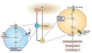 Figura 5. Ruolo dei canali del calcio di tipo L nella dipendenza da sostanze. E' mostrato un circuito neuronale semplificato coinvolto nella dipendenza. I neuroni dopaminergici nell'area ventrale tegmentale (VTA) proiettano sia al nucleo accumbens (Nac) che alla corteccia prefrontale (PFC). Il Nac è un nucleo d'uscita principale nel comportamento di ricerca della ricompensa e possiede sia proiezioni dirette che indirette (non mostrate) di ritorno alla VTA. L'esposizione cronica a psicostimolanti attiva i canali Cav1.3 ed aumenta il rilascio di dopamina dalla VTA, che a sua volta stimola gli impulsi glutammatergici. Il glutammato attiva i recettori (GluR) AMPA (α-ammino-3-idrossi-5-metil-4-isossazolo dell'acido propionico) ed NMDA (N-metil-D-aspartato) nei neuroni VTA, ed insieme all'attività del canale Cav1.3 porta a modificazioni dell'espressione genica che includono l'aumentata espressione dei canali del calcio Cav1.2. I canali Cav1.2 e Cav1.3 regolano differenzialmente il comportamento di scarica dei neuroni VTA, che a sua volta guida il rilascio di dopamina nel Nac. Qui, l'attivazione dei recettori D1 (D1R) della dopamina attiva la protein chinasi A (PKA), che, insieme all'aumentata espressione dei canali Cav1.2, media le modificazioni a lungo termine dell'espressione genica e l'inserzione del recettore AMPA nella membrana plasmatica. CamKII, calcium/calmodulin-dependent protein kinase II; CREB, cAMP response element binding protein; ERK, extracellular signal-regulated kinase; GluR, glutamate receptor.